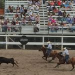 "Team steer roping. The ""header"" ropes the head, the ""heeler"" ropes the heels"