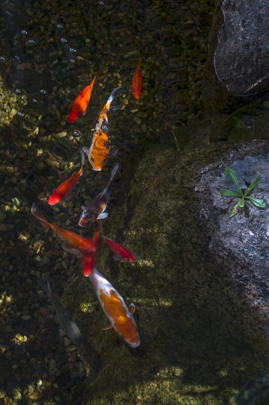 Gold fish enjoy their habitat
