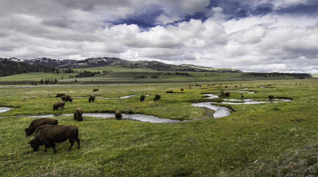Wildlife Watching in Yellowstone's Lamar Valley - Wyoming in